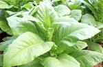 dohány_növény