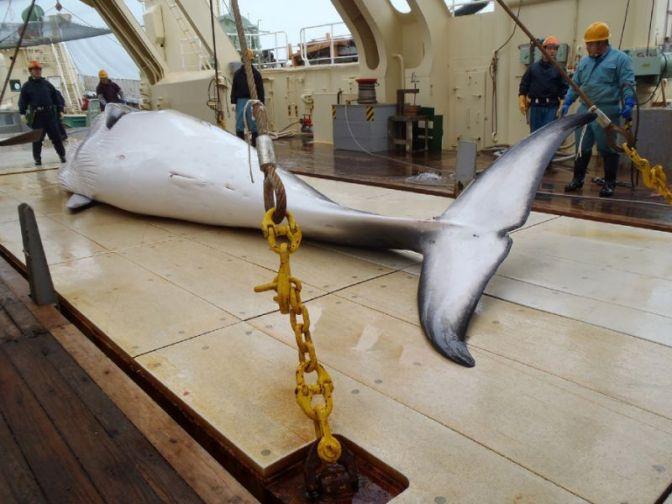 Borzalmas : Terhes bálnákat gyilkolnak le Norvégiában – állítják állatvédő csoportok